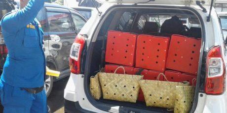 Hebat..!  Polisi Amankan 59 Ekor Ayam Jago dari Filipina